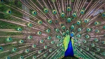 Colorful Feathers Animal