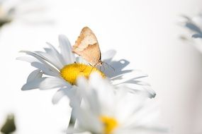 Summer Butterfly Marguerite