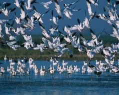 Picture of flying Snow Geese Flock