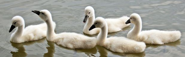 cute lovely Baby Swans