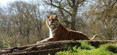 Tiger lays down on ground at forest