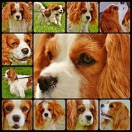 collage with portraits of a spaniel