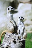 two meerkats on a stump