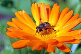 insect on an orange calendula under the bright sun