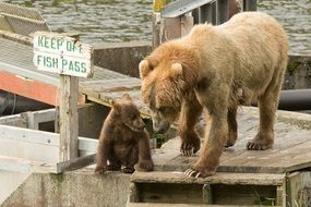 charming Kodiak Brown Bears