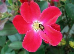 beetle on a red rose