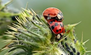 mating of a ladybugs