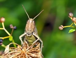 Laughing Grasshopper