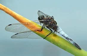 orthetrum cancellatum, male dragonfly close up