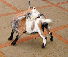 cute domestic goat scratching his back
