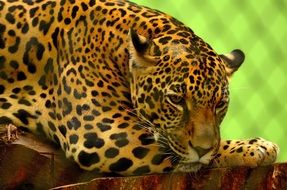 gorgeous jaguar summer portrait