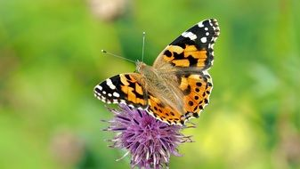 Closeup photo of Painted Lady butterfly
