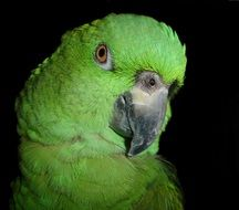 portrait of a green amazone parrot
