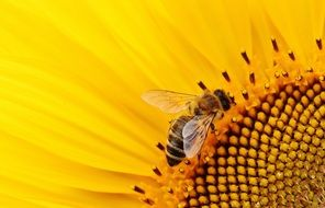 bee pollinates a sunny flower