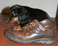 a puppy chewing the laces from the Shoe