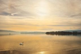 swan on the Lake Constance at sunset