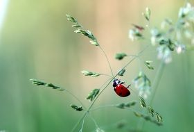 ladybug crawling in the blade of grass