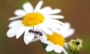 black ant on a white daisy