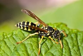 the wasp sits on the leaves
