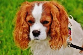 Cavalier King Charles spaniel on a leash walking in the park
