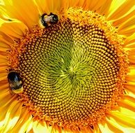 bumblebees on the sunflower