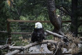 bald eagle in the zoo