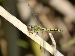 yellow dragonfly on the stem of a plant