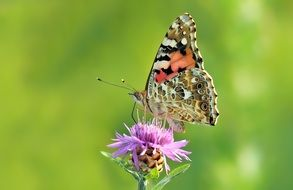 painted lady butterfly on the purple flower