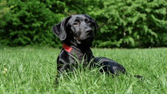 Black Labrador puppy in green grass portrait