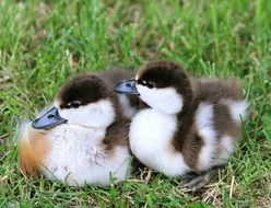 spotted ducklings on green grass close-up