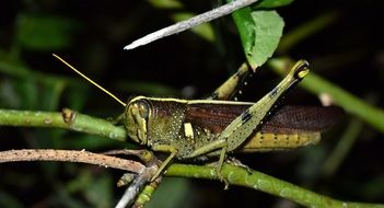 grasshopper on green branch