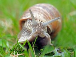 Snail on grass, macro