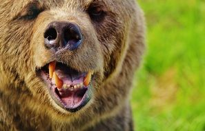 European brown bear is a wild animal, which is located in the wildlife park