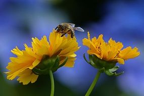bee pollinating yellow flowers in summer