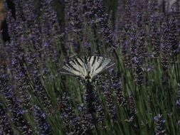 dovetail on the lavender field