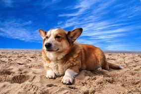 Welsh Corgi, red Dog lays on sand