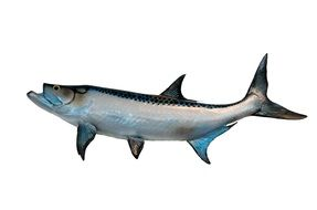 Tarpon are large fish of the genus Megalops