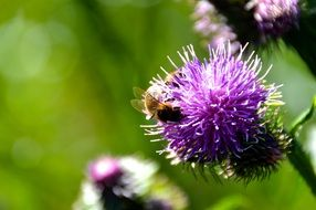 bee pollinating thistle flower
