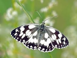 Checkered Butterfly