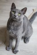 cute blue grey cat