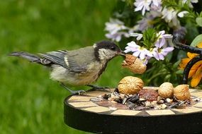 great tit eating nuts
