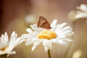 meadow brown butterfly in nature