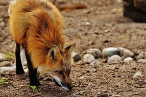 foraging fox