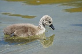 swan chick on the water