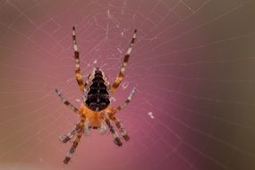 garden spider on its cobweb
