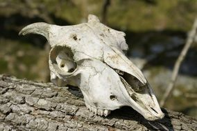 sheep skull on a tree trunk