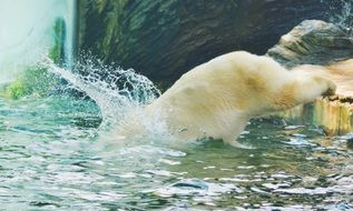 polar bear dives into the water