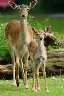 fallow deer with a young deer