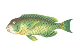 isolated green exotic fish