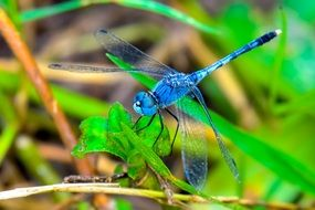 Blue Dragonfly sitting on a green plant